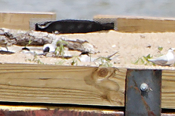 Two nests? <br /> Least Terns <br /> Experimental Least Tern Nesting Barge <br /> Riverlands Migratory Bird Sanctuary