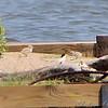 Experimental Least Tern Nesting Barge <br /> Riverlands Migratory Bird Sanctuary