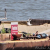 Defending their chick from others. <br /> Experimental Least Tern Nesting Barge <br /> Riverlands Migratory Bird Sanctuary