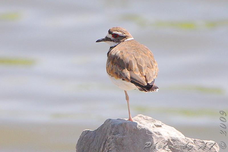 Killdeer <br /> Riverlands Migratory Bird Sanctuary