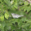 Cerulean Warbler (1st spring male) <br /> Lost Valley Trail <br /> Weldon Spring Conservation Area