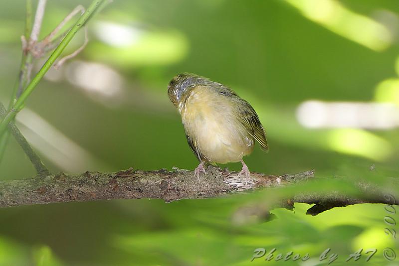 Worm-eating Warbler <br /> Lost Valley Trail <br /> Weldon Spring Conservation Area