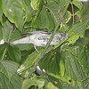 Cerulean Warbler (1st spring male)<br /> Lost Valley Trail <br /> Weldon Spring Conservation Area
