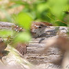 Carolina Wren <br /> In the behavior called anting, birds rub insects on their feathers, usually ants, <br /> which secrete liquids containing chemicals such as formic acid, that can act <br /> as an insecticide, miticide, fungicide, bactericide, or to make them edible by <br /> removing the distasteful acid. It possibly also supplements the bird's own preen oil.<br /> Lost Valley Trail <br /> Weldon Spring Conservation Area