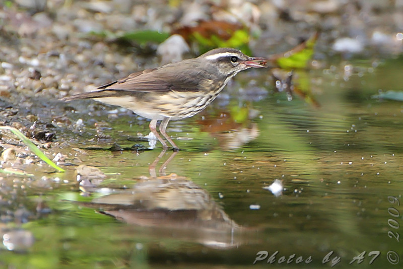 Louisiana Waterthrush <br /> Lost Valley Trail <br /> Weldon Spring Conservation Area