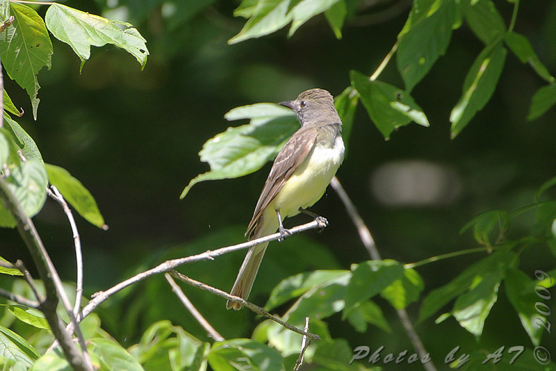 Great Crested Flycatcher <br /> Lost Valley Trail <br /> Weldon Spring Conservation Area
