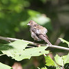 Indigo Bunting female <br /> Lost Valley Trail <br /> Weldon Spring Conservation Area
