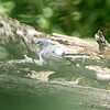 Blue-gray Gnatcatcher <br /> In the behavior called anting, birds rub insects on their feathers, usually ants, <br /> which secrete liquids containing chemicals such as formic acid, that can act <br /> as an insecticide, matricide, fungicide, bactericide, or to make them edible by <br /> removing the distasteful acid. It possibly also supplements the bird's own preen oil.<br /> Lost Valley Trail <br /> Weldon Spring Conservation Area
