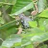 Cerulean Warbler (1st spring male)<br /> Lost Valley Trail <br /> Weldon Spring Conservation Area