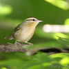 Worm-eating Warbler <br /> Lost Valley Trail <br /> Weldon Spring Conservation Area