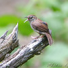 Carolina Wren <br /> Lost Valley Trail <br /> Weldon Spring Conservation Area
