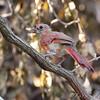 Northern Cardinal <br /> Gladewater Texas