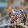 Blue-gray Gnatcatcher <br /> Gladewater Texas