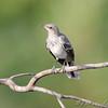 Northern Mockingbird <br /> Gladewater Texas