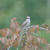 Scissor-tailed Flycatcher <br /> Gladewater, Texas