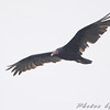 Turkey Vulture <br /> Lake Taneycomo