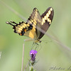 Giant Swallowtail <br /> Ruth and Paul Henning Conservation Area