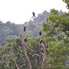Turkey Vultures <br /> Taneycomo Lake