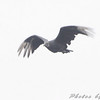 Black Vulture <br /> Lake Taneycomo