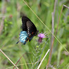 Pipevine Swallowtail <br /> Ruth and Paul Henning Conservation Area