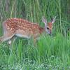 Whitetail Deer <br /> Lake Taneycomo