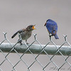 Eastern Bluebirds <br /> Taneycomo Lake