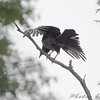 Black Vulture <br /> Taneycomo Lake <br /> <br /> No. 258 on my Lifetime List of Bird Species <br /> Photographed in Missouri.
