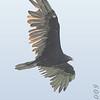 Turkey Vulture <br /> Lake Taneycomo