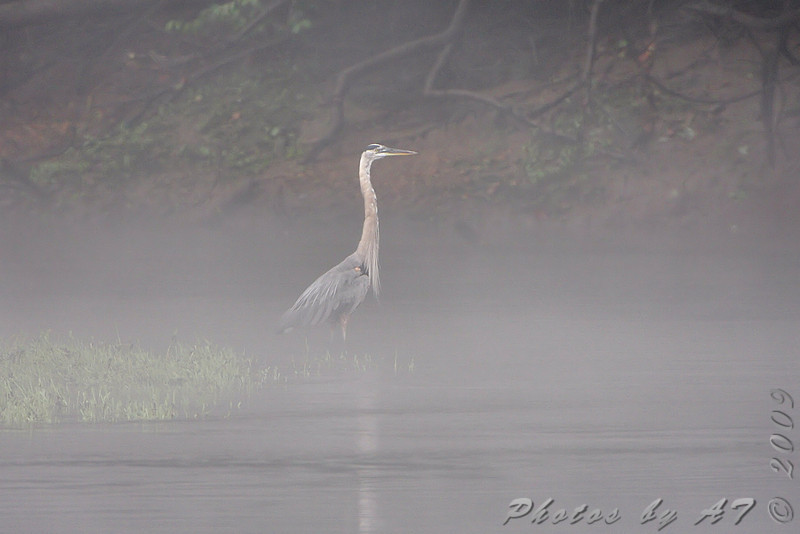 Great Blue Heron <br /> Lake Taneycomo