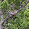 Field Sparrow <br /> Ruth and Paul Henning Conservation Area