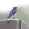 Eastern Bluebird <br /> Taneycomo Lake