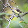 White-eyed Vireo <br /> Lake Taneycomo