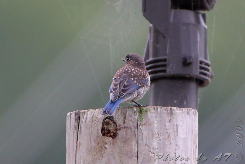 Eastern Bluebird <br /> Taneycomo Lake