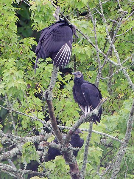 Black Vultures <br /> Lake Taneycomo