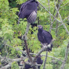 Black Vultures <br /> Lake Taneycomo