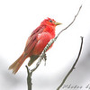 Summer Tanager <br /> Ruth and Paul Henning Conservation Area