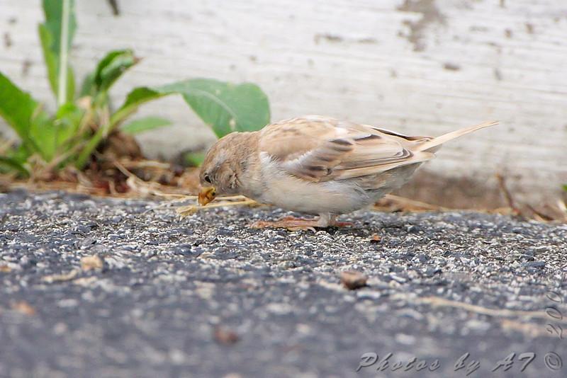 House Sparrow <br /> Taneycomo Lake