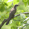 Yellow-billed Cuckoo <br /> Big Oak Tree SP