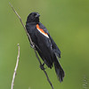 Red-winged Blackbird <br /> Just West of Otter Slough