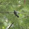 Blue-gray Gnatcatcher <br /> Big Oak Tree SP
