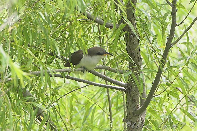 Yellow-billed Cuckoo <br /> Eagle Bluffs Conversation Area <br /> June 12 2009