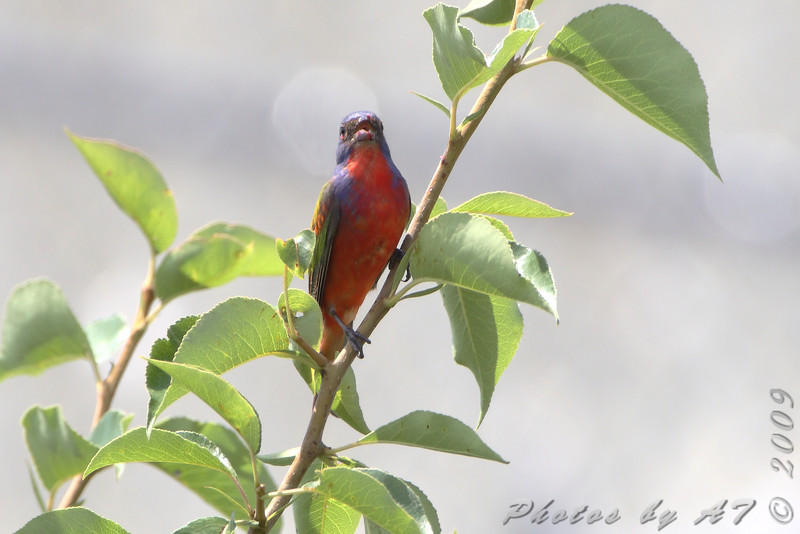 Painted Bunting <br /> Jefferson City <br /> Behind Steak and Shake <br /> June 6 2009