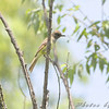 Great Crested Flycatcher <br /> Squaw Creek NWR