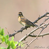 Blue Grosbeak female <br /> Squaw Creek NWR