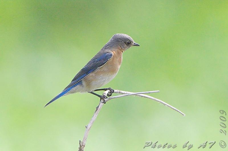 Eastern Bluebird <br /> Squaw Creek NWR