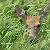 Whitetail Deer <br /> Squaw Creek NWR