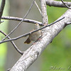 ? House Wren ? <br /> Squaw Creek NWR