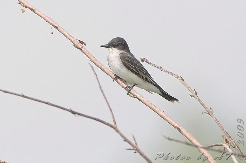 Eastern Kingbird <br /> Squaw Creek NWR