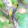 Orchard Oriole <br /> Squaw Creek NWR