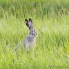 Jack Rabbit <br /> North Dakota